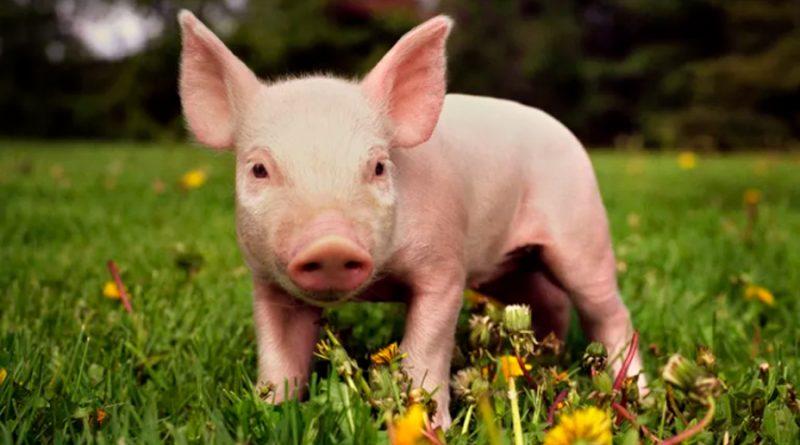 Pronto serán normales los trasplantes de corazones de cerdos en humanos