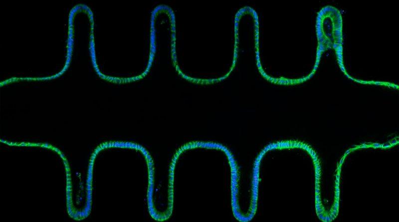 Obtienen pequeños intestinos funcionales y parecidos al órgano real