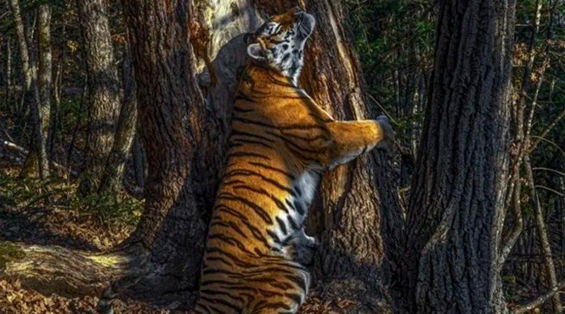 Fotógrafo de Vida Silvestre 2020: el abrazo de un tigre a un árbol y otras imágenes ganadoras