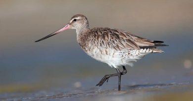 Este pájaro voló sin descanso más de 12 mil kilómetros, de Alaska a Nueva Zelanda