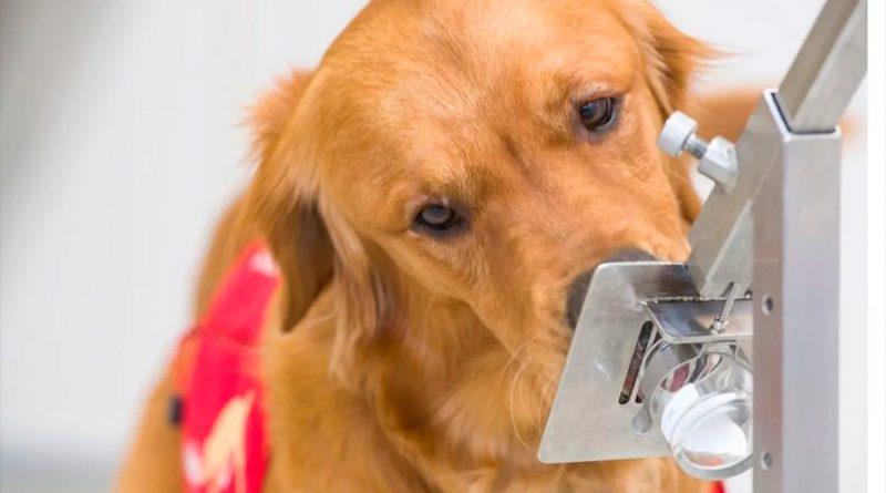 El mecanismo por el que los perros detectan síntomas de Covid-19 5 días antes de que empiecen