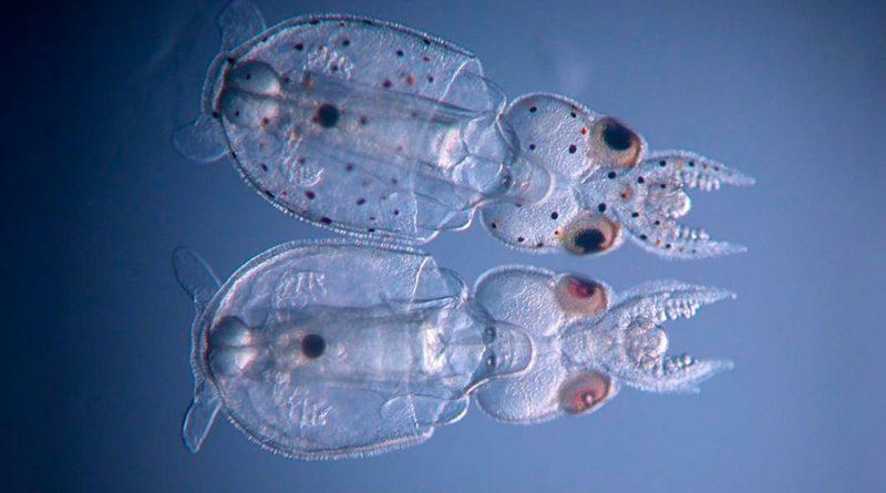 La técnica CRISPR produce calamares transparentes