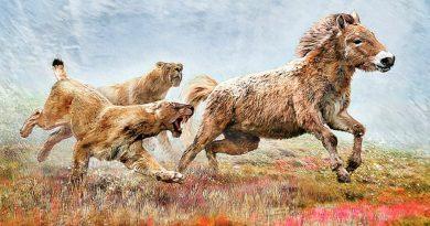 El tigre con dientes de sable cazaba por agotamiento de sus presas