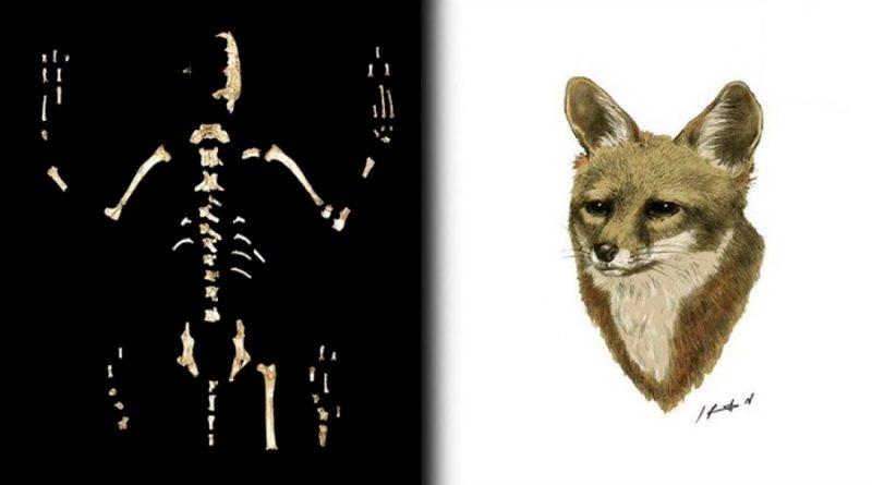 Científicos de la UNAM descubren nueva especie de zorro