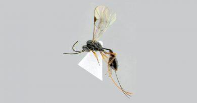 """Descubren avispa mexicana y la llaman """"Covida"""" por COVID-19"""
