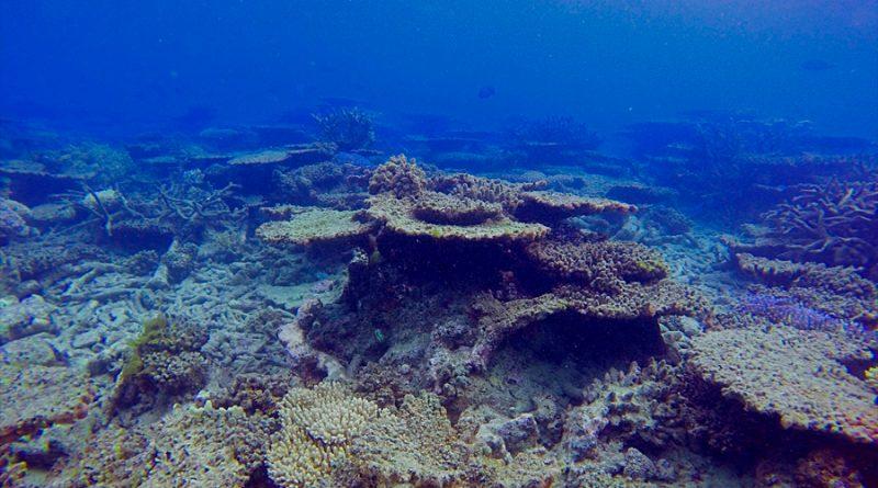 La mitad de los corales de la Gran Barrera australiana murió en 25 años