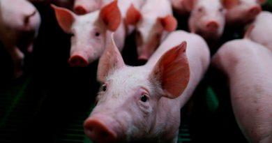 Estudio revela que coronavirus porcino puede propagarse a humanos