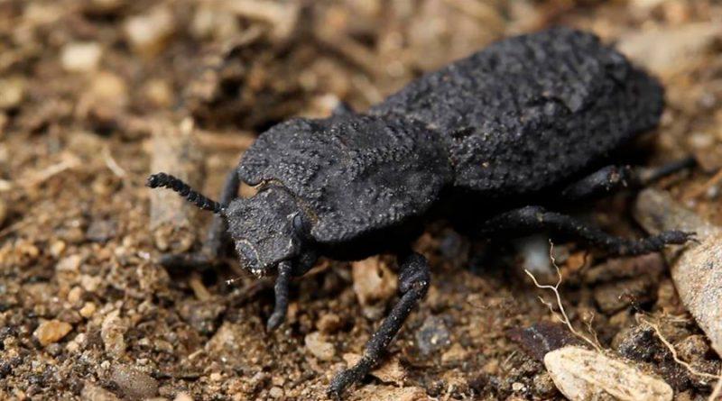 Los secretos de un indestructible escarabajo, inspiración para la aeronáutica