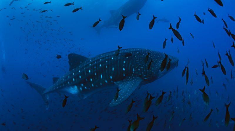 Las aventuras de Coco: el tiburón ballena que es monitoreado por científicos de Galápagos