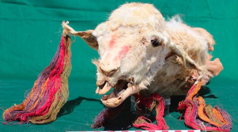 Descubren la primera prueba directa de sacrificios incas: 4 llamas perfectamente conservadas