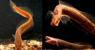 Descubren una nueva familia de peces subterráneos en la India
