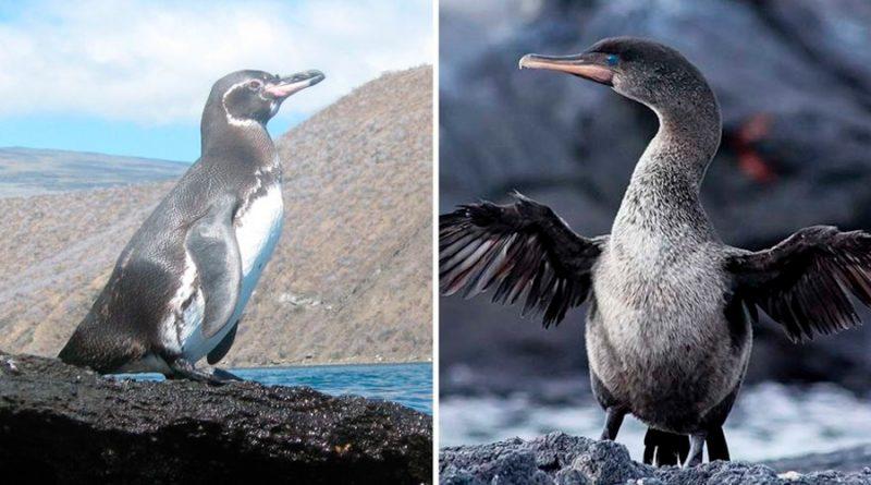 Galápagos registra cifras récord de pingüinos y cormoranes
