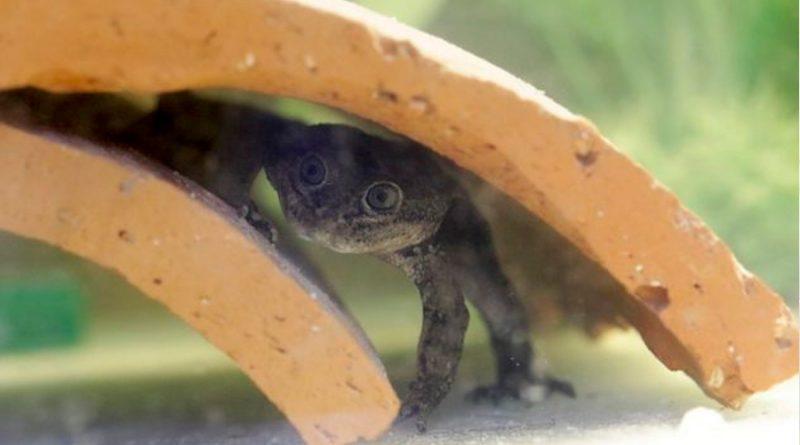 Chile evita una extinción y reproduce 200 ranas del Loa a partir de las últimas 14 que existían