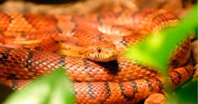 La mutación de un gen de una serpiente revela el origen del color de la piel