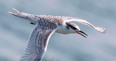 Las aves marinas prevén los tifones antes de emprender la migración