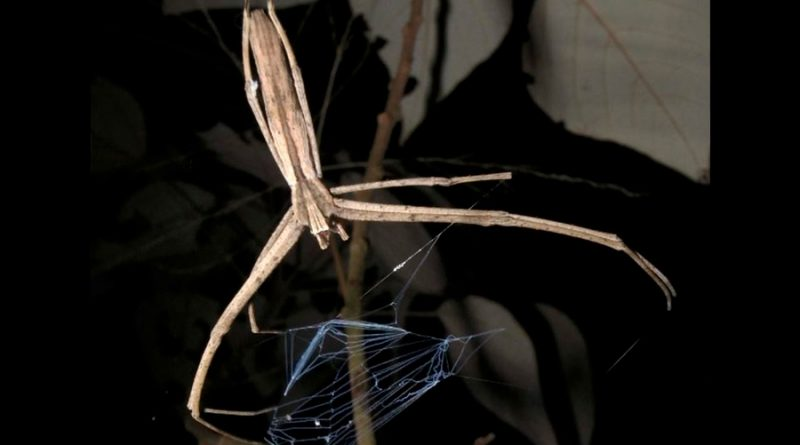 Estas arañas son capaces de oír y no tienen orejas