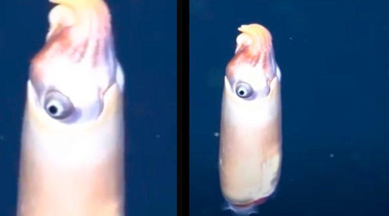 Captan por primera vez a uno de los calamares más extraños del mundo