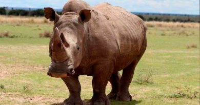 El rinoceronte blanco del norte es declarado funcionalmente extinto
