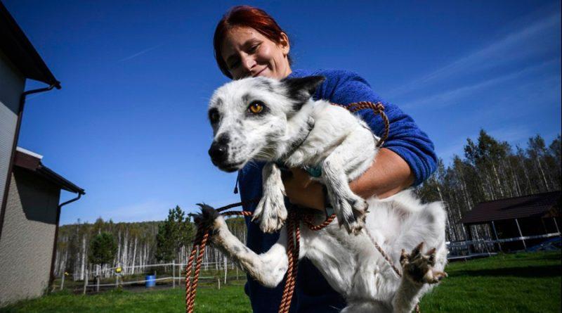 Científicos domestican zorros en Siberia para estudiar evolución humana: experimento lleva 61 años