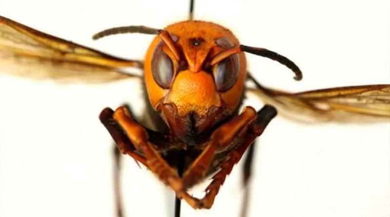 Cómo la ciencia se infiltró en el primer nido de avispones gigantes que llegó a Estados Unidos