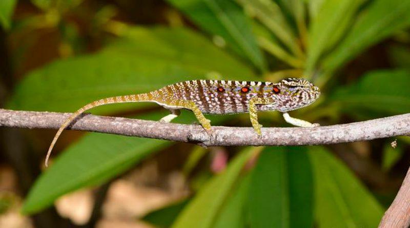 """Hallan en Madagascar un camaleón """"desaparecido"""" hace 100 años"""