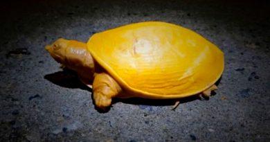 Encuentran una tortuga amarilla en la India