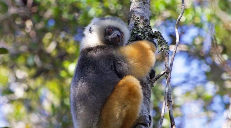 Crean un refugio privado en Madagascar para lémures amenazados