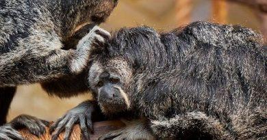 Monos de un zoológico de Finlandia prefieren los sonidos del tráfico que los de la jungla