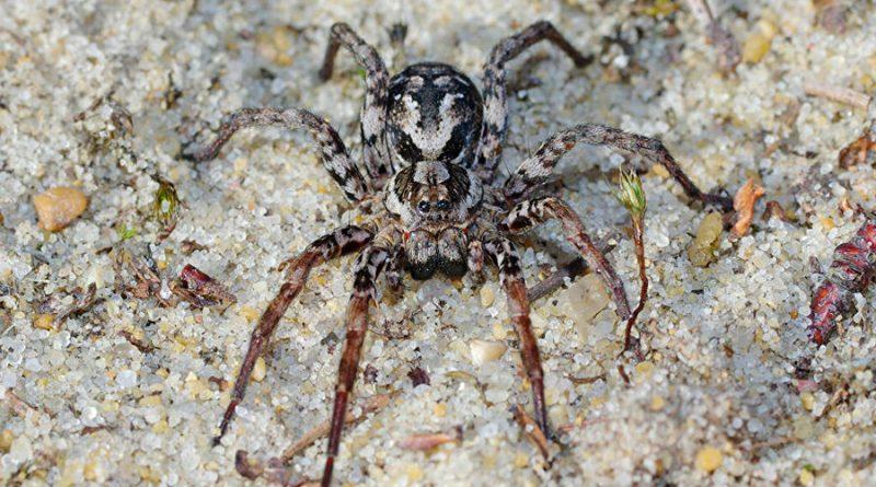 Una araña que se creía extinta en Inglaterra resultó estar viva y prosperando