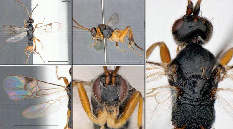 La avispa Godzilla, el nuevo insecto descubierto por científicos en Japón