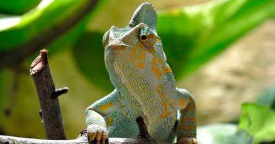 Un anfibio destrona al camaleón como el primer vertebrado con esa elástica lengua