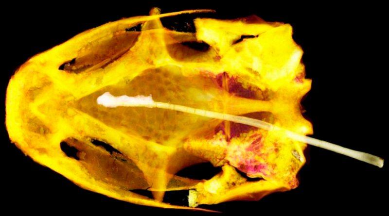 Resuelto el misterio del enigmático fósil de 99 millones de años: conoce al albie