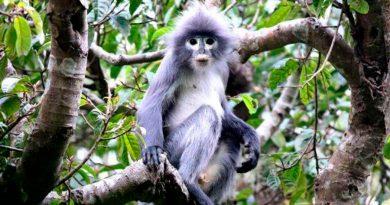 Un primate recién descubierto ya está en peligro de extinción