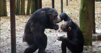 Polémica tras la muerte a tiros de dos chimpancés que escaparon de un zoo de Holanda