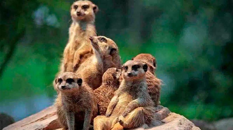 Los grupos de animales consideran múltiples factores antes de luchar