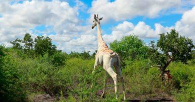 La última jirafa blanca del mundo estará vigilada por GPS para protegerla de cazadores