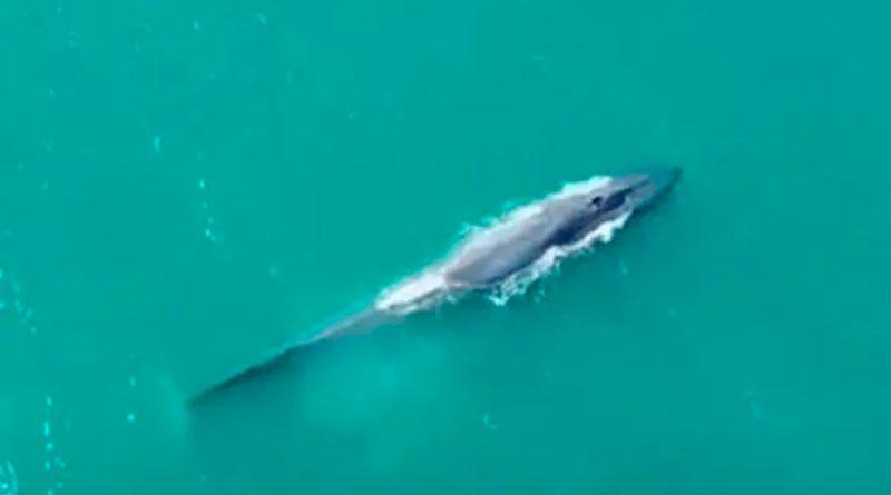 La ballena azul regresa a Georgia del Sur después de su casi extinción