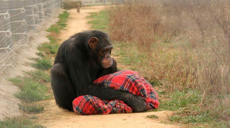 Los chimpancés usados como mascotas y en espectáculos padecen graves trastornos mentales