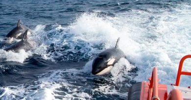 Extrañas embestidas de orcas a barcos en el Atlántico que los científicos no logran explicar