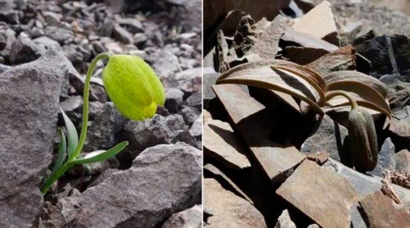Una planta evoluciona para hacerse menos visible a los humanos