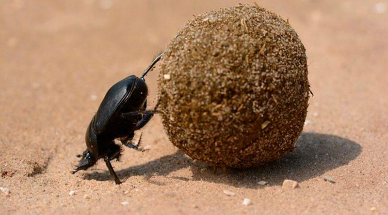 ¿Por qué son importantes los escarabajos estercoleros de las zonas áridas?