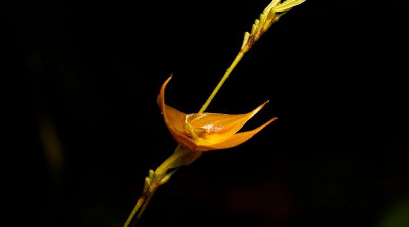 Descubren una rara especie de orquídea gigante en Ecuador