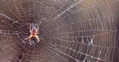 Arañas macho atacan a las hembras y las atan antes de aparearse para evitar ser comidas