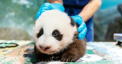 """El bebé panda del zoo de Washington ya tiene nombre: """"Pequeño milagro"""""""