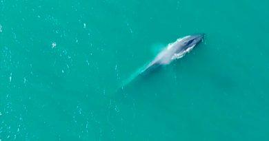 El inesperado regreso de las ballenas azules a las islas del Atlántico Sur que sorprende a los científicos