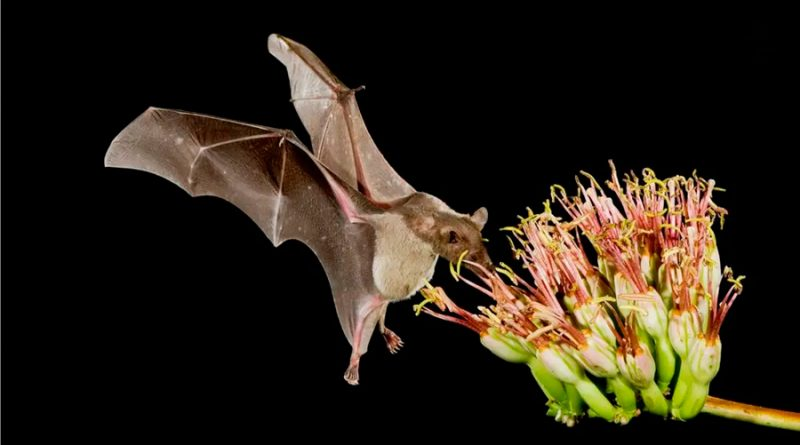 Bióloga Mexicana: Sin murciélagos no hay mezcal (una razón de peso para cuidar de estos animales)