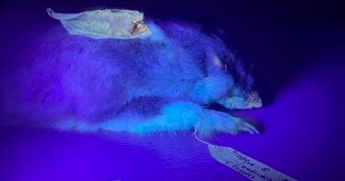 Enigma científico: los wombats también brillan en la oscuridad como el ornitorrinco