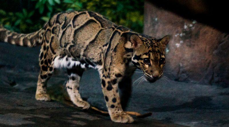 Avistan en Tailandia una especie de pantera en riesgo de extinción
