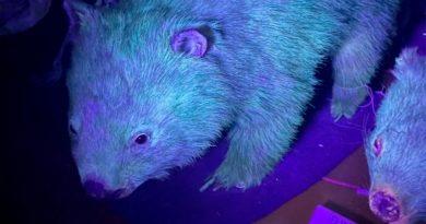 El ornitorrinco no estaba solo: descubren que los wombats también pueden brillar en la oscuridad