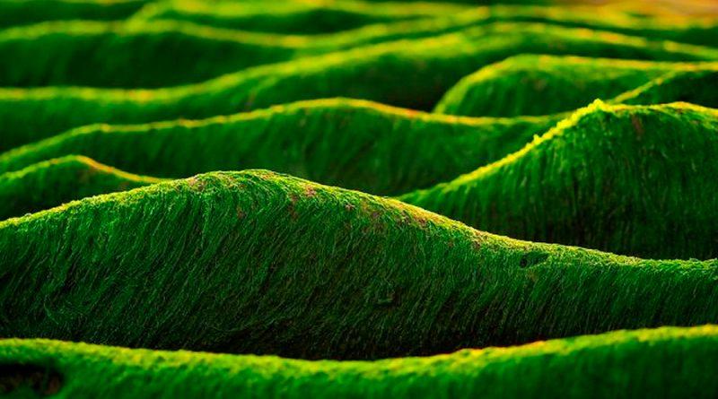 Fósiles más antiguos no provienen de animales como se pensaba, sino de algas